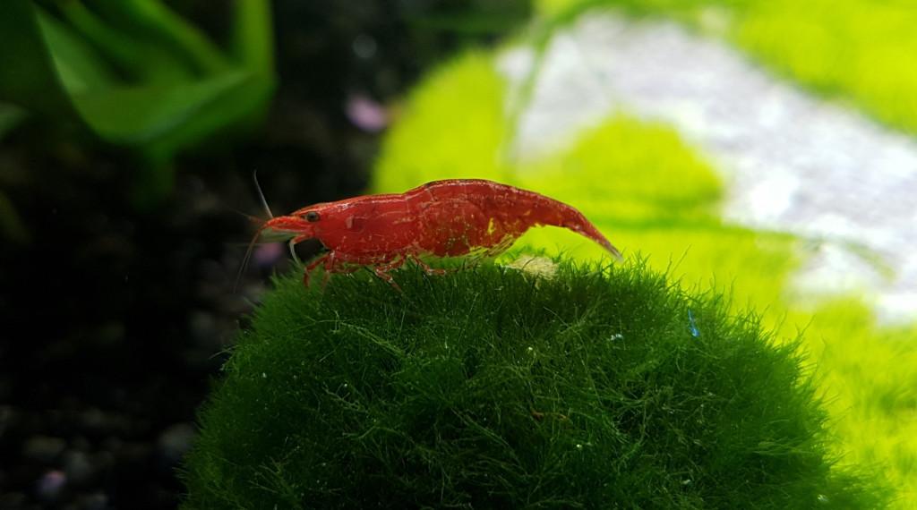 Krevetka Red Cherry