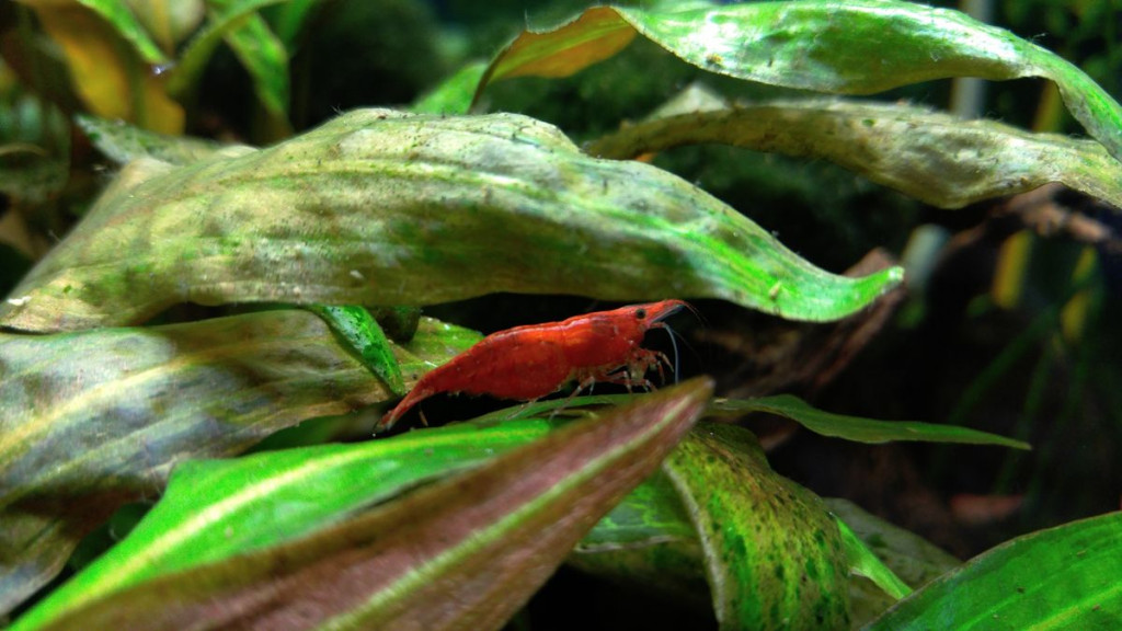 Shrimp red cherry