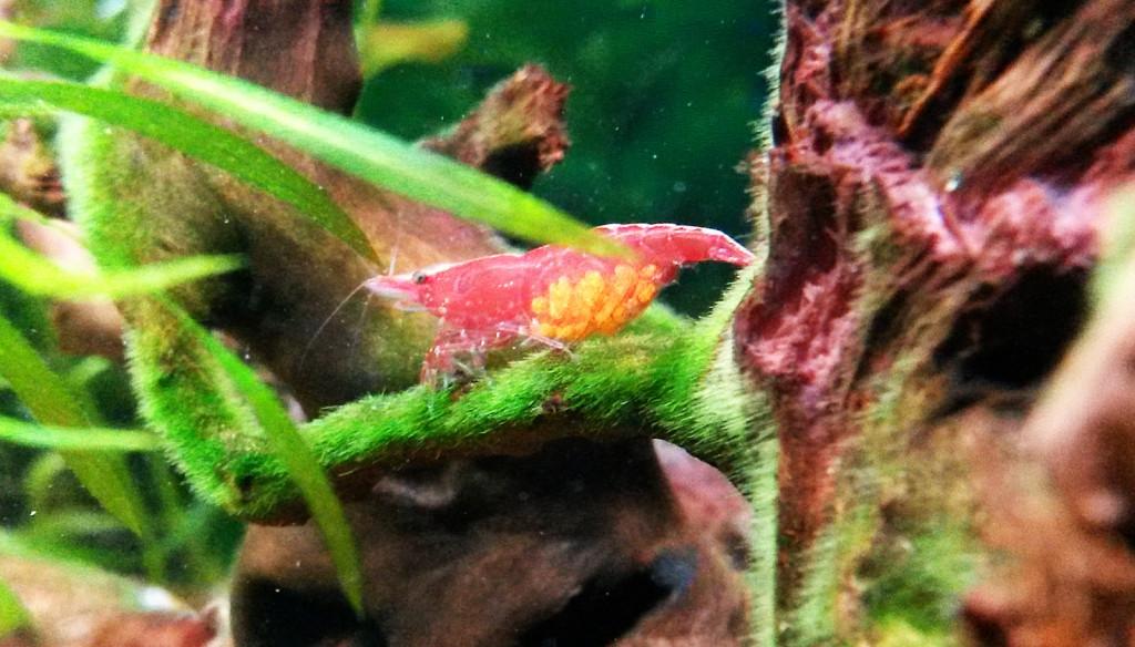 Těhotná krevetky Red Cherry