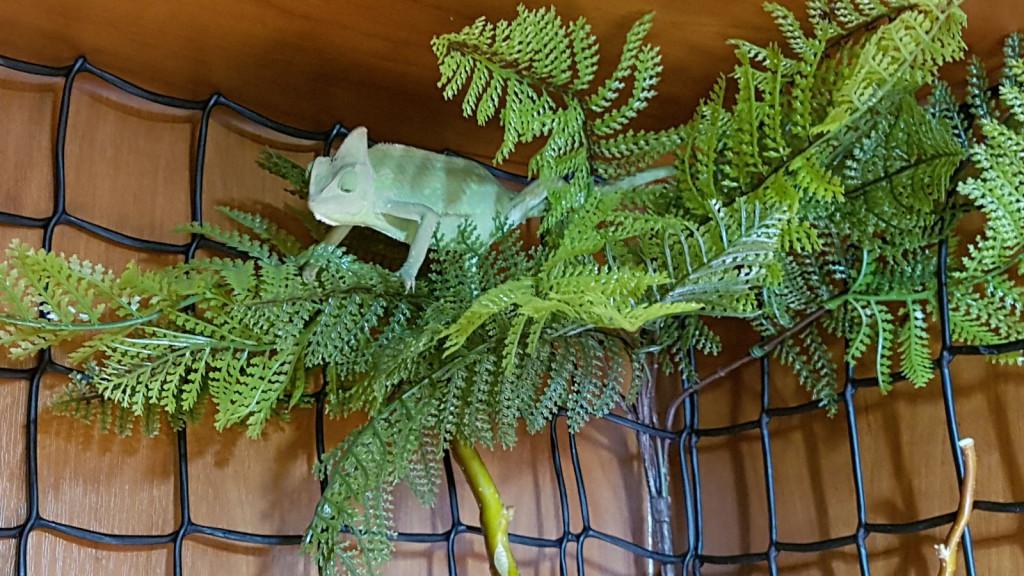 Chameleon (26)