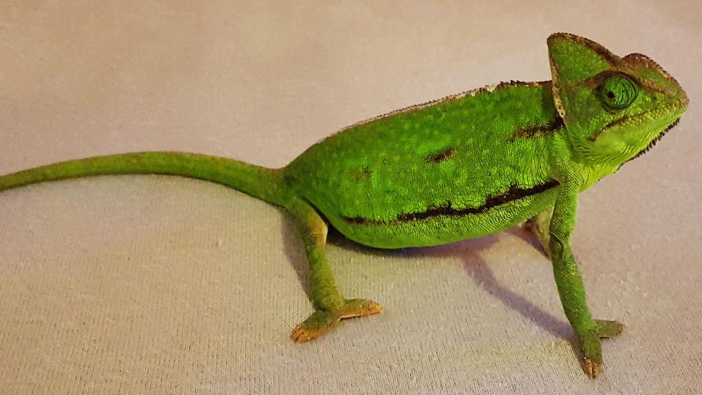 Chameleon (53)
