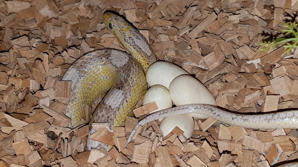 Vajíčka užovka červená 1