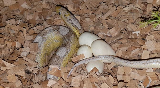 Výroba suchého inkubátoru pro inkubaci vajíček užovky červené